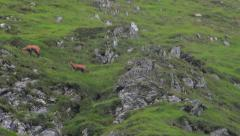 mountain goats Carpathians - stock footage