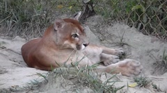Puma Cleaning Stock Footage