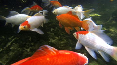 Beautiful goldfishes. HD Stock Footage