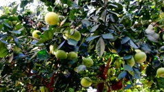 Pamela or pomelo fruits on the tree Stock Footage