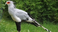 Secretary bird Stock Footage