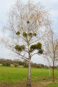 Mistletoe on the tree Stock Photos