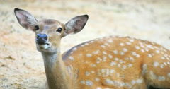 Graceful female spotted deer outdoors in national park Stock Footage