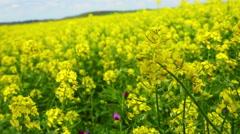 Walking through flowering rapeseed field Stock Footage