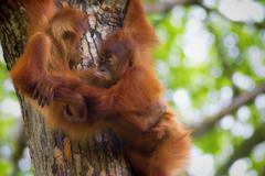 Borneo Orangutans Stock Photos
