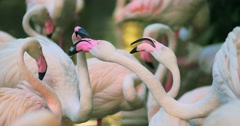 4K video of group of flamingos in national park Stock Footage