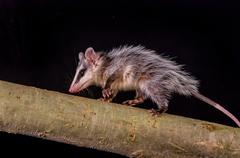 andean white eared opossum on a branch zarigueya - stock photo