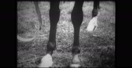 Close-up of cleaning thoroughbred's legs Stock Footage