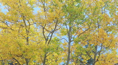 Autumn aspen trees in the breeze Stock Footage