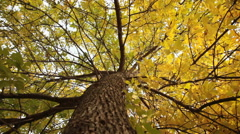 Trunk of the yellow tree Stock Footage