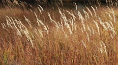 Golden grass in the sun Stock Footage