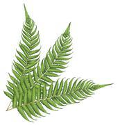 New zealand leaf Piirros