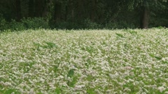 Fagopyrum esculentum, buckwheat blooming on a field edge + zoom out Stock Footage