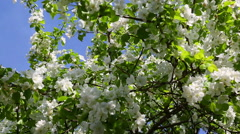 Blossom apple tree branches - slider dolly shot Stock Footage