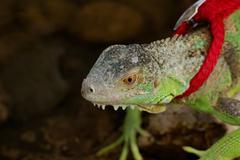 Green iguana on a leash Stock Photos