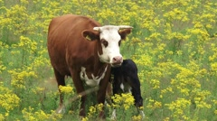 Red Blaarkop cow nursing black calf in Ragwort field Stock Footage