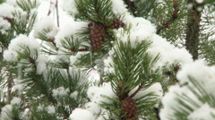 Close up of snow on winter conifer branches - stock footage