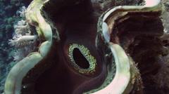 Coral scallop (Pedum spondyloideum) - stock footage