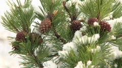 Close up of snow on winter conifer branches with pine cones - stock footage