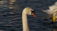 MUTE AND WHOOPER SWANS CLOSE UP #3 Stock Footage
