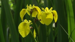 YELLOW IRIS (IRIS PSEUDACORUS) #4 Stock Footage