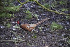 A male common pheasant - stock photo