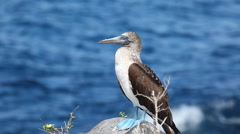 Blue-footed Booby, Sula nebouxii, in the Galapagos Islands Stock Footage