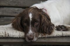 Sleepy springer spaniel - stock photo