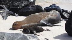 Galapagos Sea Lion, Zalophus wollebaeki, with young Stock Footage