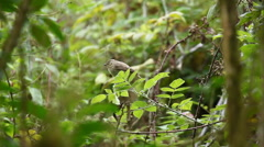 The Warbler Finch, Phalaropus tricolor, from the Galapagos - stock footage