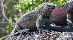 The Marine Iguana, Amblyrhynchus cristatus, from the Galapagos Stock Footage