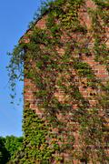 common ivy (hedera helix) on a ancient  brick wall - stock photo