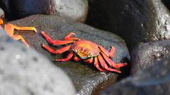 Sally Lightfoot Crab, Grapsus grapsus, in Galapagos Stock Footage