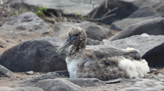 Waved Albatross Chick, Phoebastria irrorata, from the Galapagos Stock Footage