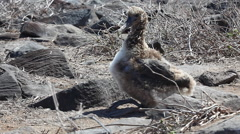 A Waved Albatross Chick, Phoebastria irrorata, from the Galapagos Stock Footage