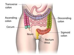 Parts of colon color coded labeled. - stock illustration