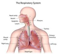 The respiratory system, labeled Stock Illustration