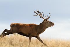 Cervus elaphus ( majestic red deer stag ) running on meadow Stock Photos