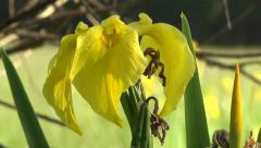 YELLOW IRIS (IRIS PSEUDACORUS) PAN. UP Stock Footage