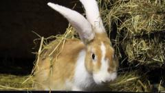 Rabbit eats hay Stock Footage