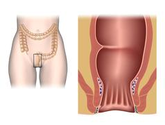 Stock Illustration of The anal canal anatomy unlabeled.
