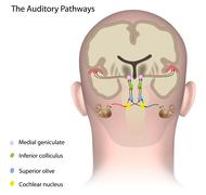 The auditory pathways unlabeled. - stock illustration