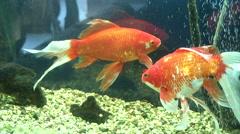 Goldfish in an aquarium Stock Footage