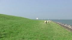 Sheeps are grazing on the IJsselmeer dike Stock Footage