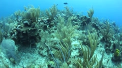 Caribbean Corals on Seafloor - stock footage
