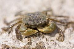 Crab Face Stock Photos