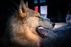 Stuffed Wolf Kuvituskuvat