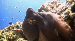 Octopus an a coral reef Stock Footage