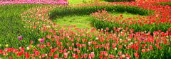 Tulip flower background Stock Photos