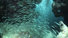 Schooling Fish in Underwater Grotto Stock Footage